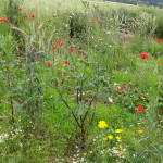 Blumenwiese auf dem Acker