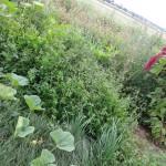 Urban gardening  Wildkraut