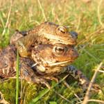 """Erdkrötenpaar """"Doppeldecker"""" auf dem Weg zum Laichgewässer im Frühjahr. Das Weibchen trägt das Männchen nur im Frühjahr"""