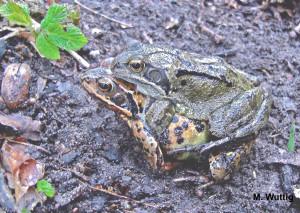 Amphibien im Kreis Minden Lübbecke